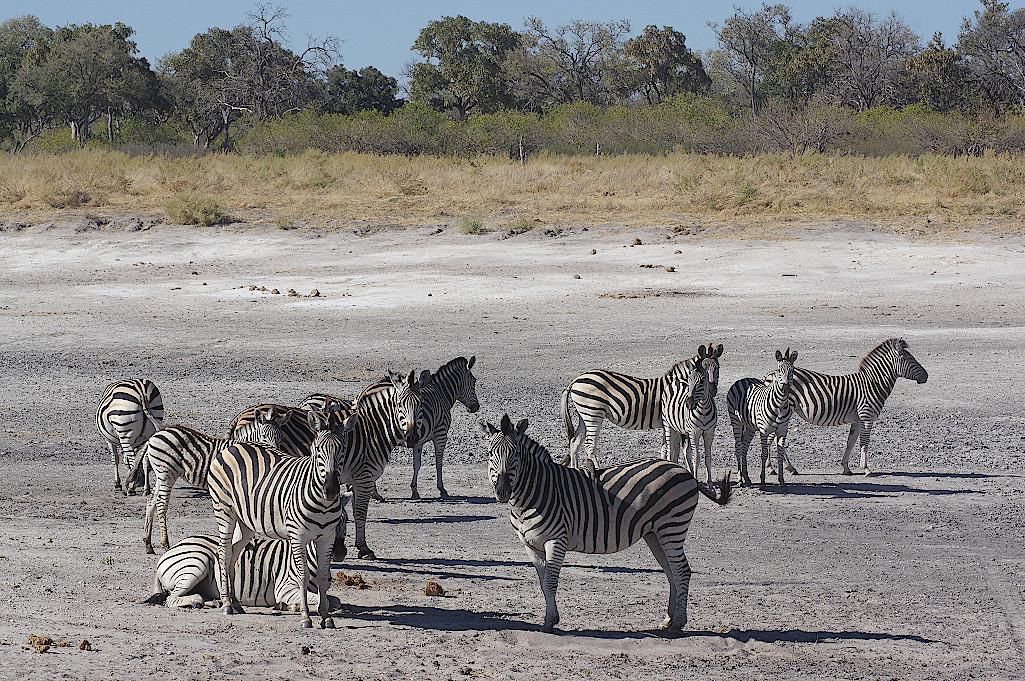 Zebras-im-Okavangodelta