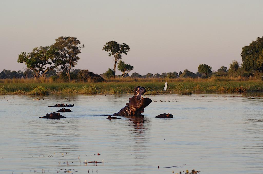 Flusspferd-im-Okavangodelta