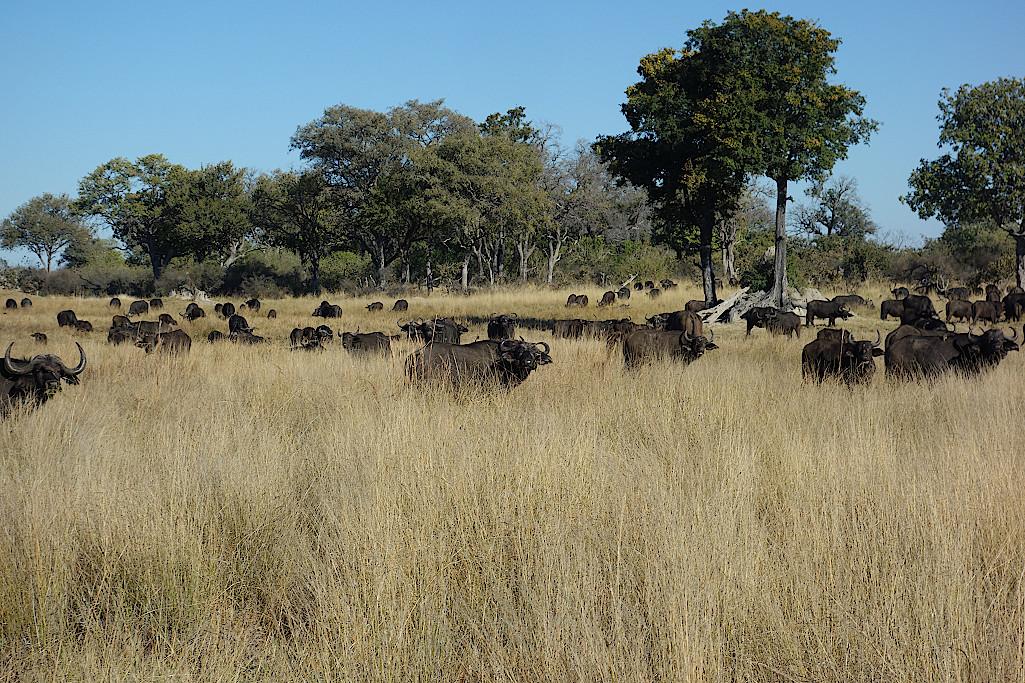 Bueffelherde-im-Okavangodelta-Botswana