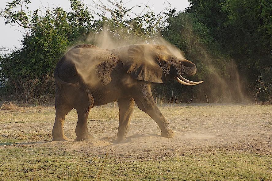 Elefant-beim-Sandbaden-in-Sambia