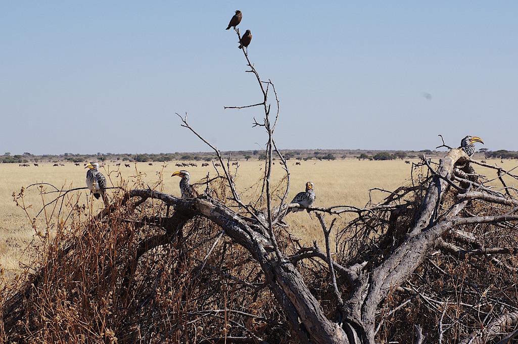 Gelbschnabeltoko-Kalahari
