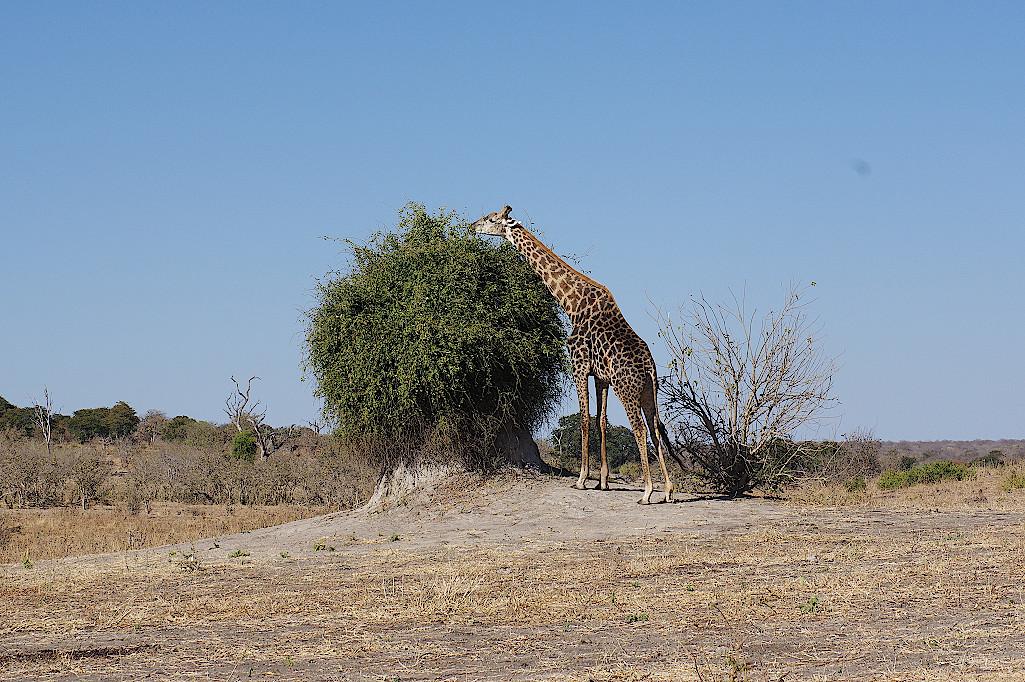 Giraffe-im-Chobe-Nationalpark