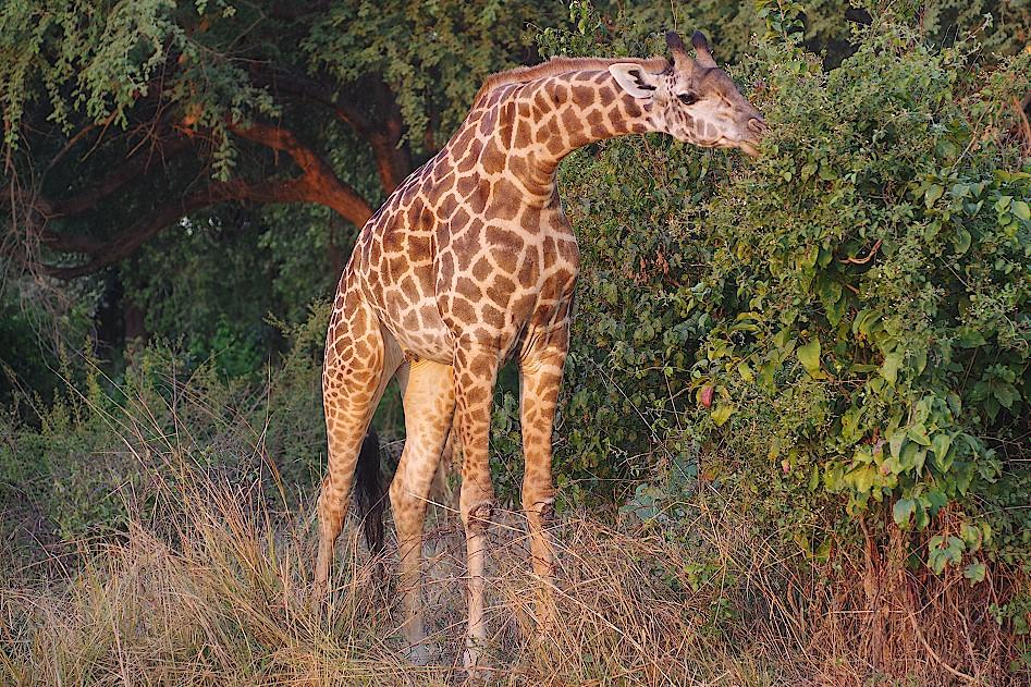 Giraffe-im-Luambe-Nationalpark-in-Sambia