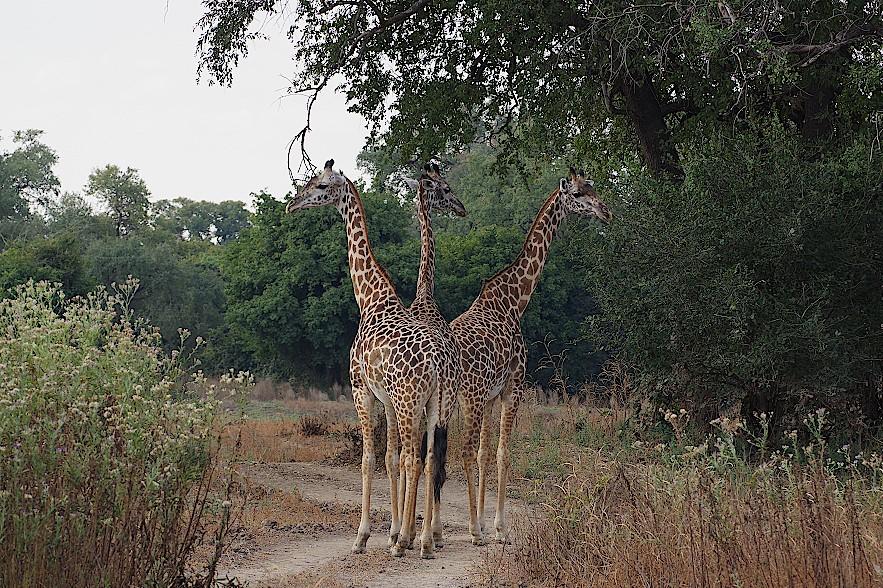 Giraffen-im-South-Luangwa-Nationalpark-Sambia