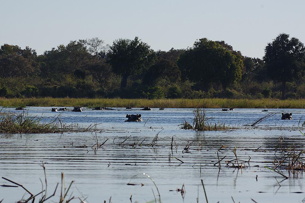 Hippo-Pool-im-Okavangodelta