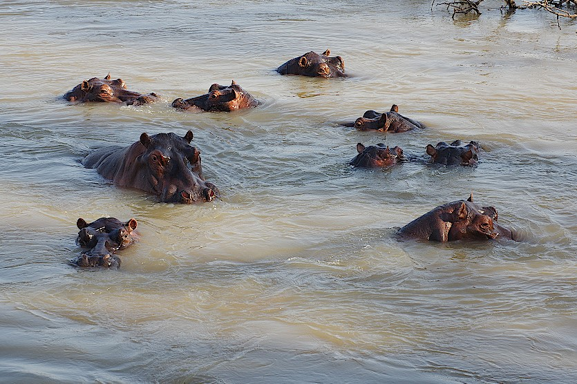 Hippopool-Luangwa-Sambia