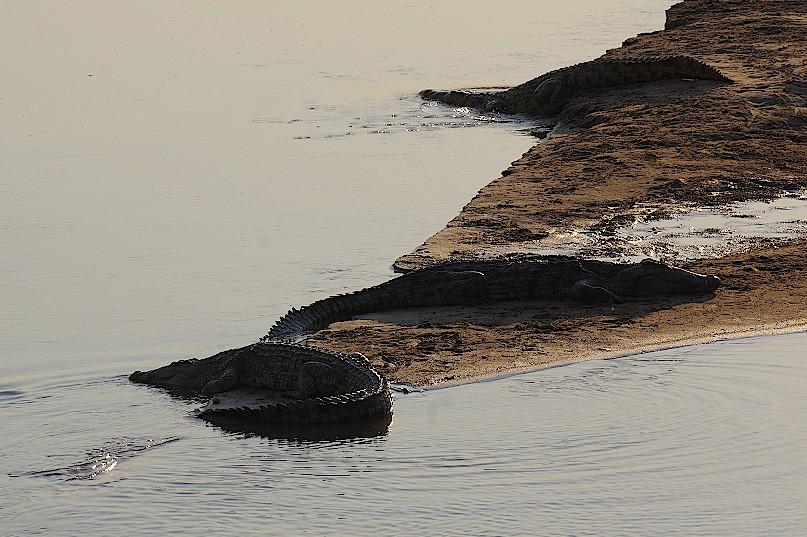 Krokodile-im-Luambe-Nationalpark-Sambia