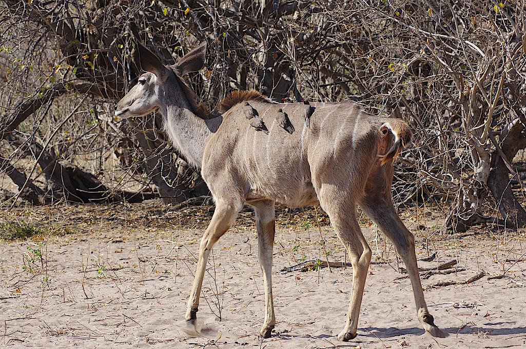 Kudu-im-Chobe-Nationalpark-Botswana