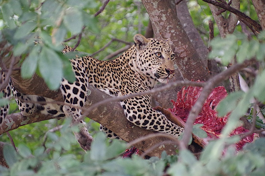 Leopard-im-South-Luangwa-Nationalpark-Sambia