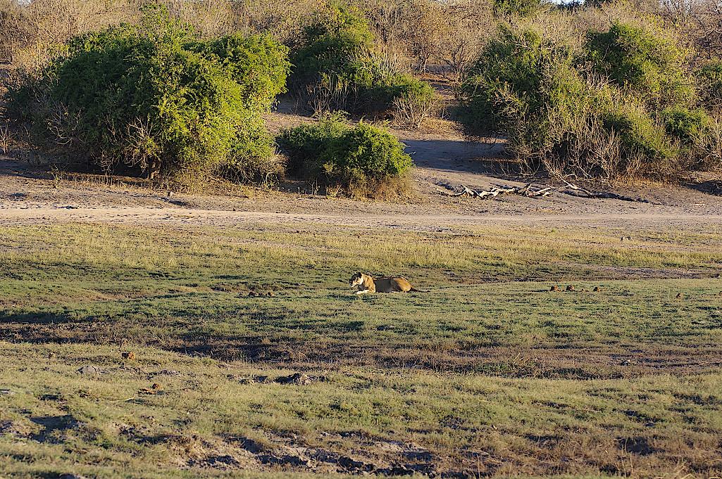 Loewin-im-Chobe-Nationalpark