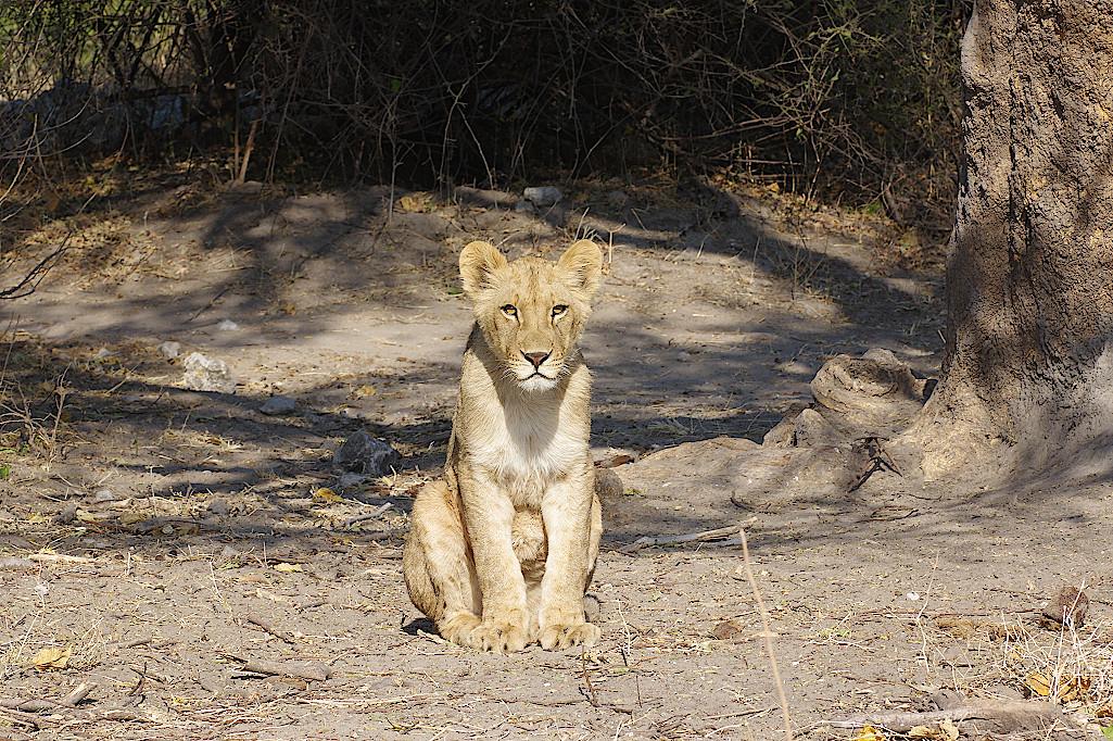 Loewe-im-Chobe-Nationalpark