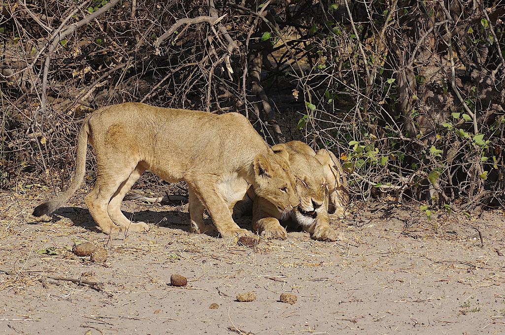 Loewen-im-Chobe-Nationalpark-Botswana