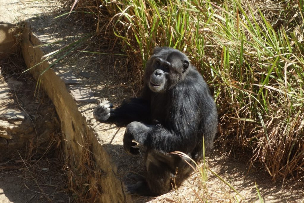 Schimpansen-Auffangstation-in-Lubumbashi