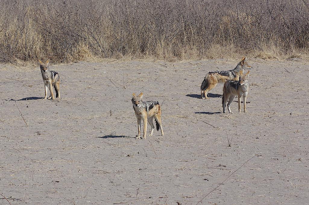 Schakale-Kalahari