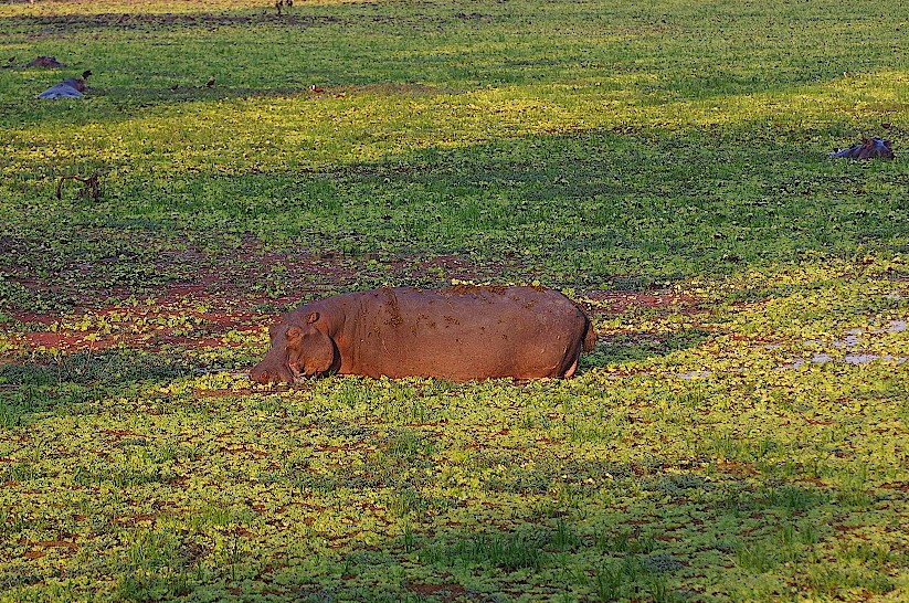 Flusspferde-im-South-Luangwa-Nationalpark-in-Sambia